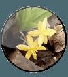 Curculigo Orchioides