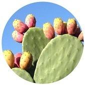 Nopal Opuntia Cactus