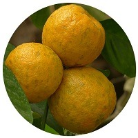 Bitter Orange Synephrine